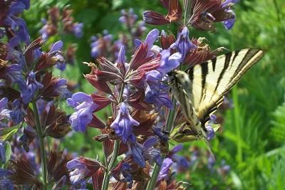 Sortie Botanique Fleur de Sauge et Papillon