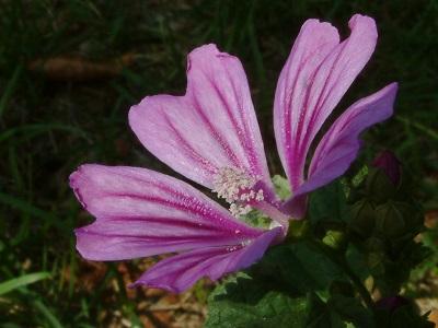 Sortie Botanique Avril Mauve