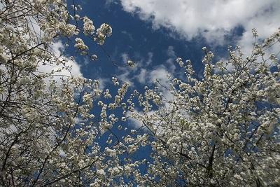 Guigniers en fleurs sur fond de ciel bleu