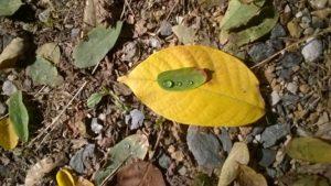 Feuille d'automne jaune avec dessus feuille verte et goutte d'eau