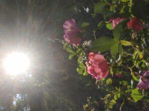 Une rose éblouie par le soleil