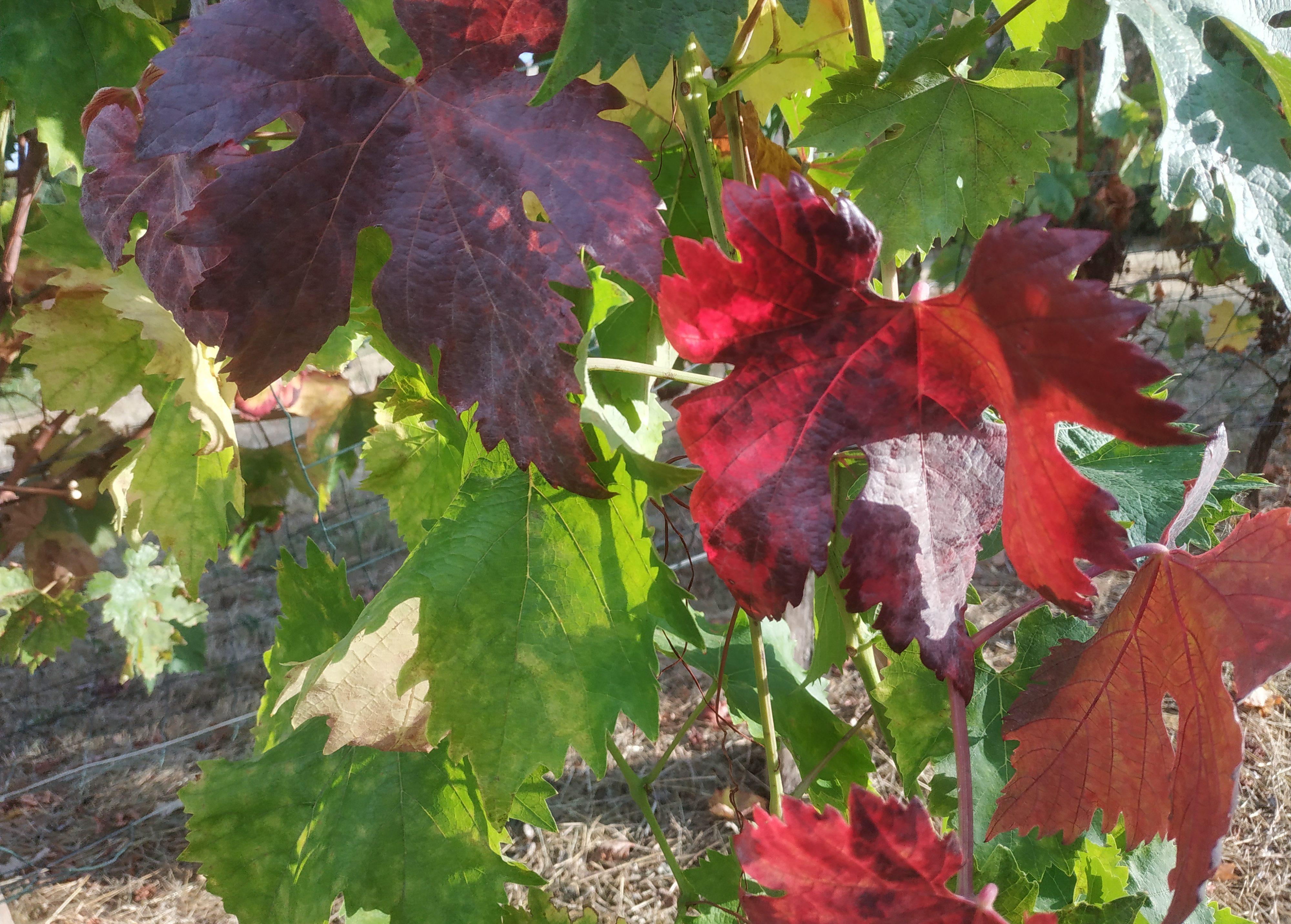 Feuilles de vigne d'Automne